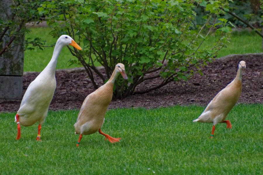 Indian Runner Ducks hunting snails