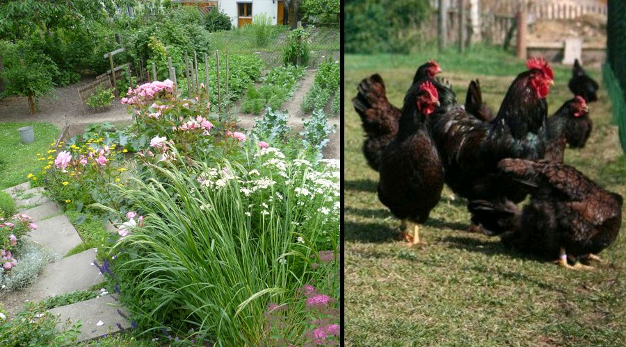 Kitchen garden & Chicken, breed: Barnevelder, double laced